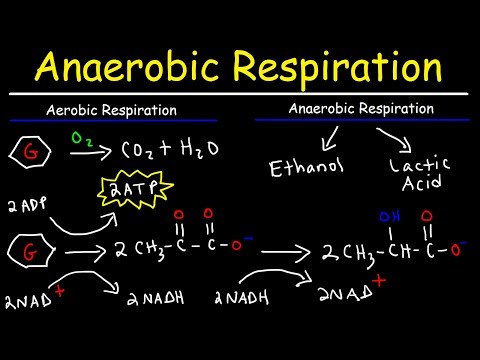 Aerobic vs Anaerobic Respiration Lactic Acid and Ethanol Fermentation