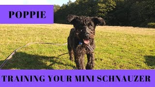 Poppie - Training Your Barking Schnauzer - 3 Weeks Residential Training