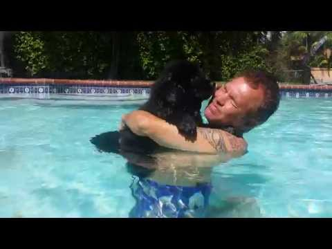 Newfoundland puppy in the swimming pool