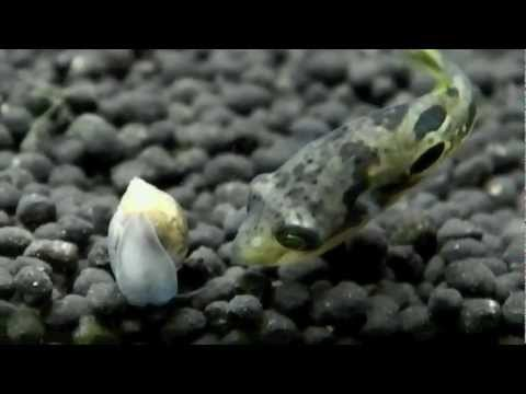 Dwarf Puffer Eating Snails