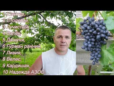 Моя десятка лучших виноградных сортов и ГФ.
