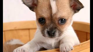 Top 10 Favourite Small Dog Breeds.