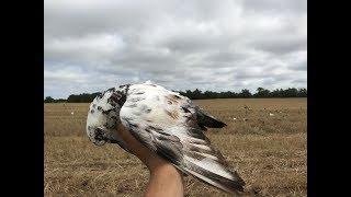 Amazing Summer Pigeon Hunting! GOT A HOMER!