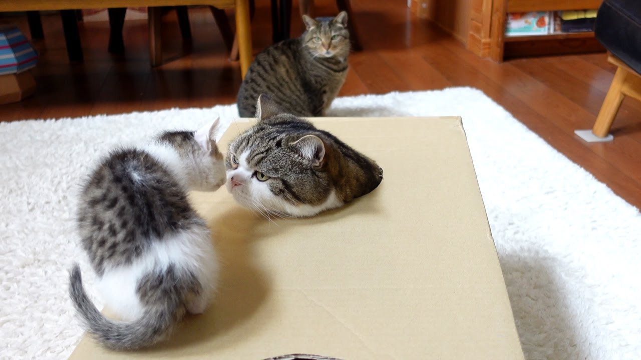 穴の開いた箱で遊ぶねこ。-Cats playing with the box with holes.- - download from YouTube for free