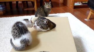 穴の開いた箱で遊ぶねこ。Cats playing with the box with holes.