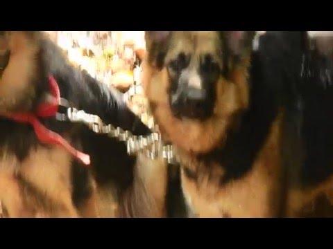 German Shepherd Dog bark sound