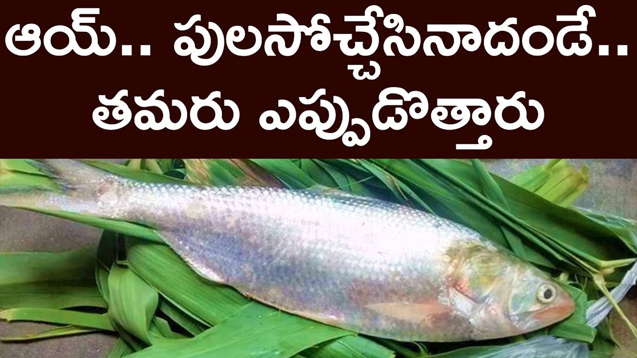 This pulasa fish from godavari river is worth 21000