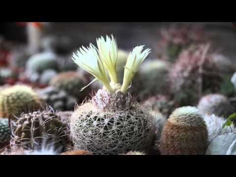 Discocactus araneispinus blooming time lapse