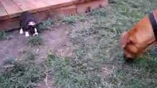 My little Boston Terrier puppy taking on his big Ridgeback friend!