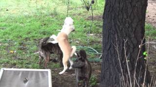 This is a video of a few of our Kai Ken (甲斐犬) puppies playing wi...
