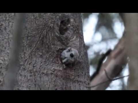 Liito-orava nuuhkii ilmaa
