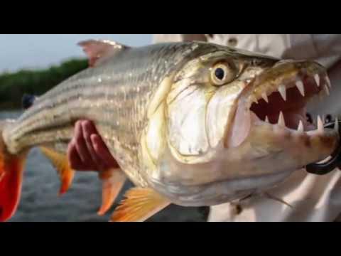 मगरमच्छ का शिकार करने वाली दानव मछली | The Most Dangerous Fish of the World TigerFish in Hindi