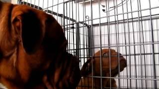 Dogue De Bordeaux「流空斗」君と「zeus」のご対面!!