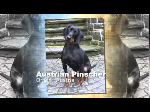 Austrian Pinscher Dog Breed 2