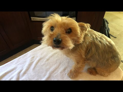 Grooming a Sweet & Affectionate Yorkie (Yorkshire Terrier)