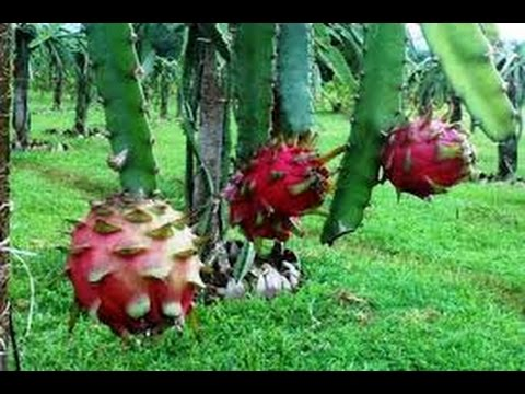 Dragon Fruit Benefits For Health Youtube