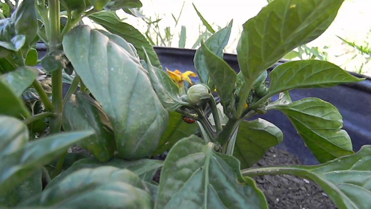 Ladybeetle Feeding On Thrips & Mites On Pepper Plant
