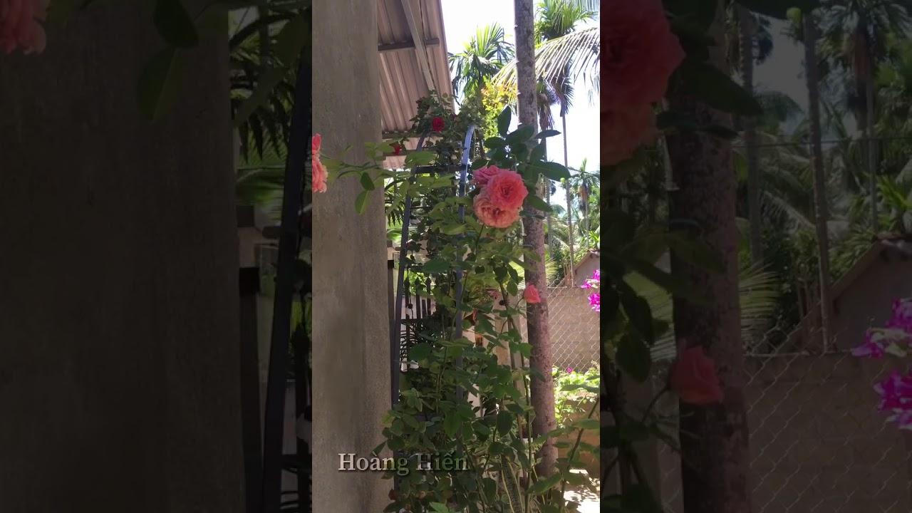 Corail • Siên Hoa Dễ Trồng💓  Nguyễn Hoàng Hiến  