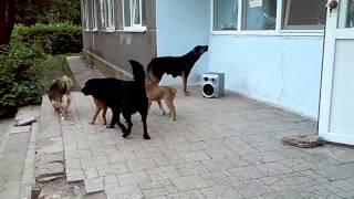 Собаки будят детей на зарядку под советский горн
