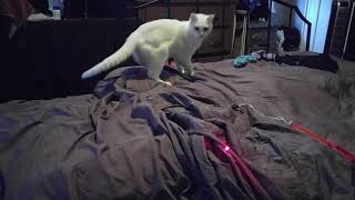 CAT Chases Lazer Pointer (Funny Love PETS & Animals = Go Vegan)