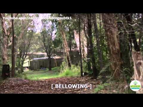 Nature Documentary Cracking the Koala Code english subtitles