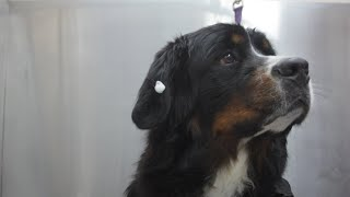 How to bath and dry your dog with ear and eye cleaning