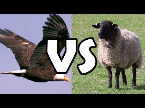 INSANE EAGLE ATTACK ON SHEEP (CRAZY NATURE HD)