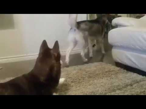 Cat Stage - Funny cat annoying dogs