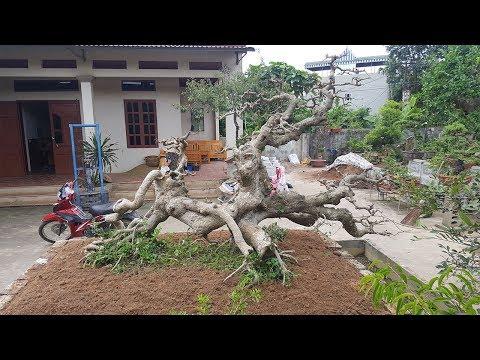 Một cây ruối quái khai thác từ rừng về giá tiền tỷ của anh Thiêm không bán