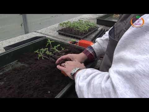 Rempotage des Semis de Tomates