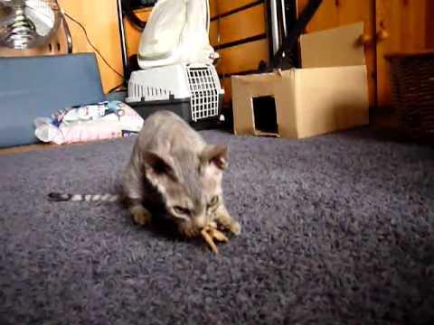 Cat Dance of a Devon Rex Kitten