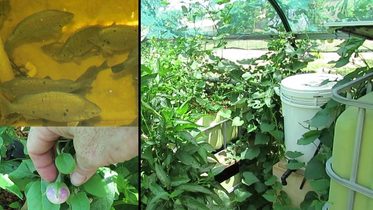 aquaponic update rampant sweet potato u0026 happy fish 23rd dec
