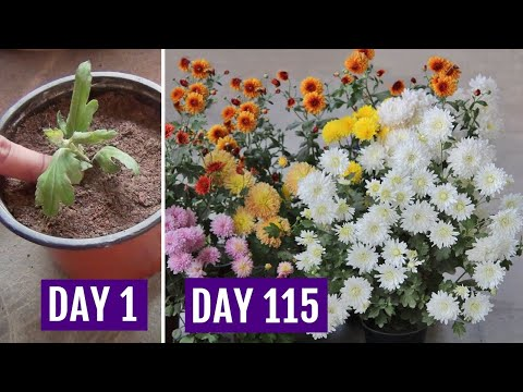 Grow Chrysanthemum in