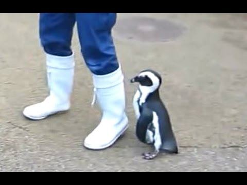 Penguins - A Cute And Funny Penguin Videos Compilation || NEW HD