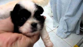 Shih Tzu Mix Cotton Terrier Puppies