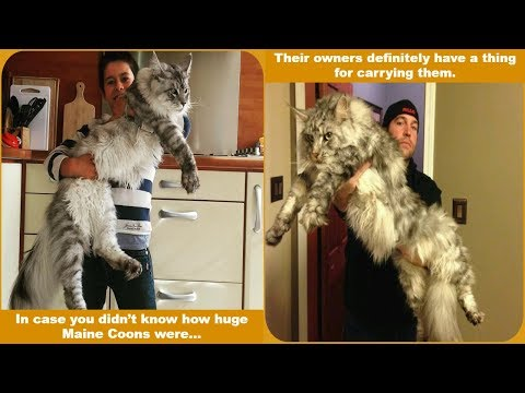 21 Majestic Maine Coon Cats That Will Show You Who's the Boss