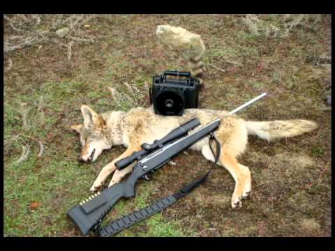 Coyote Hunting Mixed Videos & Pictures Using Tikka T3 And FoxPro Callers