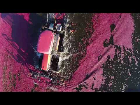 Amazing look at a Cranberry Harvest filmed by drone.  Lake Nakomis 2015