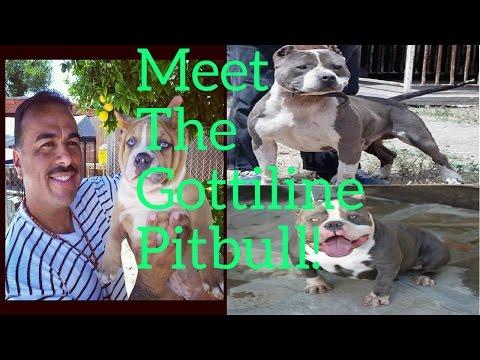 What Is A Gottiline Pitbull?