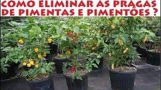 Como eliminar as pragas das Pimentas e Pimentões ( ácaros )