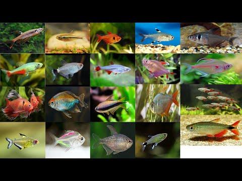 Top 41 Beautiful Tetra Fish