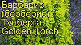 видео Барбарис Тунберга Golden Dream