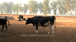 Fodder time for cows at  dairy farm in Punjab