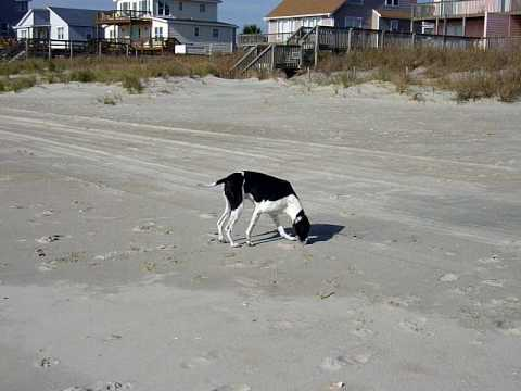Roxy the English Pointer sniffing for clues on the beach in North Carolina.MOV