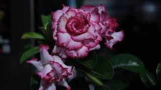 Trên tay hoa sứ First Love - Hoa đẹp nhiều lớp mà có hương thơm