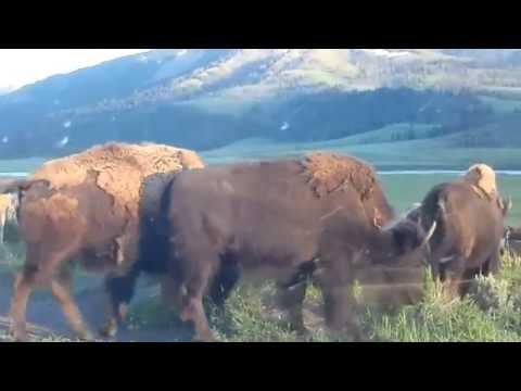 Buffalo Bison Herd  Yellowstone National Park