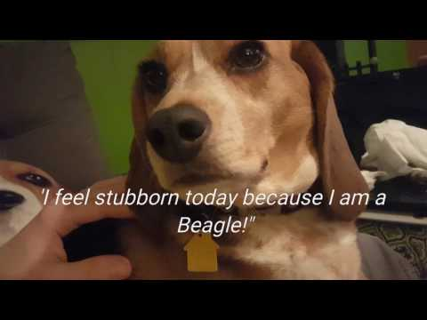 PART 2 Adorable Beagle Only Wants To Hug Her Dad, Beagle Stubbornness Outtakes