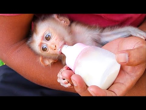 Baby Monkey Lyly Crying Routine Hungry Milk