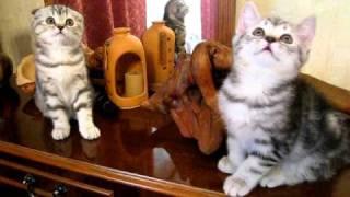 Шотландские котятя 2 мес Tarja & Torero.avi
