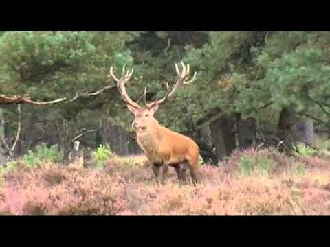 King of the Woods, Red Deer, Veluwe